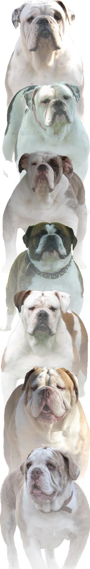 Olde English Bulldogge Breeders | Olde English Bulldogge